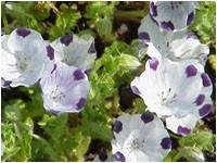 Nemophila_maculata1