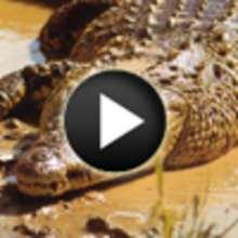 Vidéo sur les crocodiles - Vidéos - Vidéos d'ANIMAUX