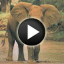 Vidéo sur les éléphants - Vidéos - Vidéos d'ANIMAUX