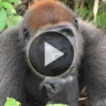 Vidéo sur le gorille de montagne - Vidéos - Vidéos d'ANIMAUX