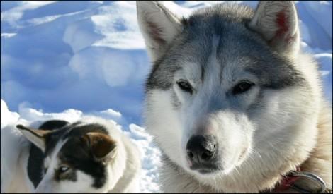 husky-chiens traineau