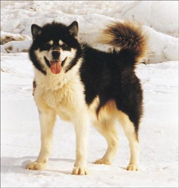 inuit_dog