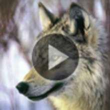 Vidéo sur le loup - Vidéos - Vidéos d'ANIMAUX