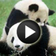 Vidéo sur le panda géant - Vidéos - Vidéos d'ANIMAUX