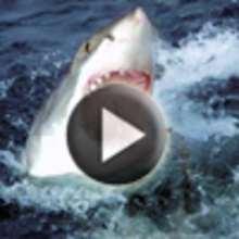 Requin coloriage vid os lecture actualit s dessin jeux activit s hellokids tv sortir - Requin rigolo ...