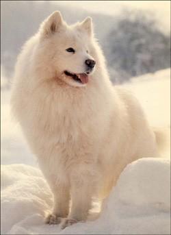 Les chiens de traineaux - Lecture - REPORTAGES pour enfant - Fiches pédagogiques sur les animaux