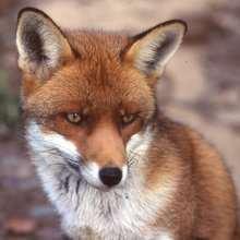 Coloriages animaux - Coloriage renard a imprimer gratuit ...