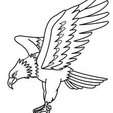 Coloriage d'un aigle Pygargue - Coloriage - Coloriage ANIMAUX - Coloriage OISEAU - Coloriage AIGLE