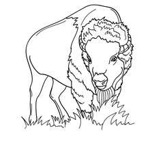 Coloriage d'un BISON mâle - Coloriage - Coloriage ANIMAUX - Coloriage ANIMAUX DE LA FERME - Coloriage BISON