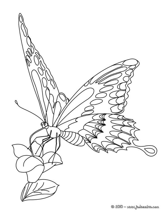 Coloriages papillon pos sur une fleur - Coloriage de papillon ...