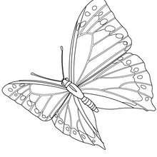 Coloriage : Papillon en plein vol
