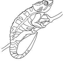 Coloriage de CAMELEON multicolore - Coloriage - Coloriage ANIMAUX - Coloriage ANIMAUX DE LA JUNGLE - Coloriage CAMELEON