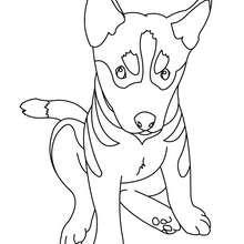 Coloriage de chien : Bébé Husky