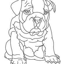 Coloriage de chien : Bouledogue