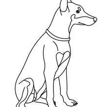 Coloriage de chien : Dobermann