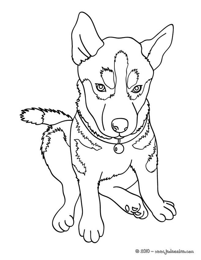Coloriages husky chien des neiges - Coloriage de chien ...