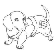 Coloriage de chien : Teckel