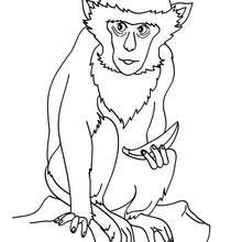 Coloriage d'un SINGE vert - Coloriage - Coloriage ANIMAUX - Coloriage ANIMAUX DE LA JUNGLE - Coloriage SINGE