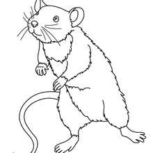 Coloriage d'une SOURIS - Coloriage - Coloriage ANIMAUX - Coloriage ANIMAUX DE LA FERME - Coloriage SOURIS