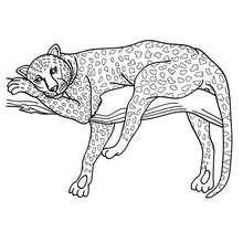 Coloriage d'un Léopard - Coloriage - Coloriage ANIMAUX - Coloriage ANIMAUX AFRIQUE - Coloriage PANTHERE
