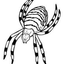 Coloriage ARGIOPE - Coloriage - Coloriage ANIMAUX - Coloriage INSECTE - Coloriages Insects&Co