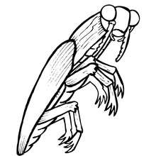 Coloriage ELATER - Coloriage - Coloriage ANIMAUX - Coloriage INSECTE - Coloriages Insects&Co