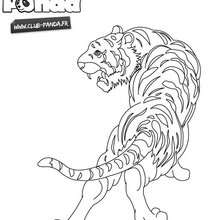 Coloriage : Tigre à colorier - Club Panda