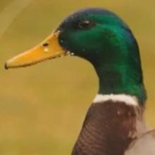 Le canard - Vidéos - Vidéos de DESSINS ANIMES - Vidéos LES AMIS DE SCOOBY