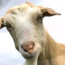 La chèvre - Vidéos - Vidéos de DESSINS ANIMES - Vidéos LES AMIS DE SCOOBY