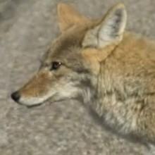 Dessin animé : Le coyote
