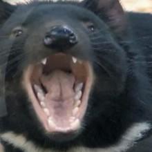 Dessin animé : Le diable de Tasmanie