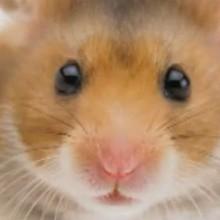 Dessin animé : Le hamster