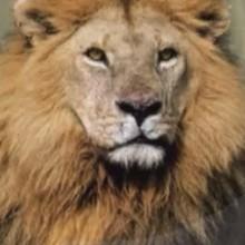 Dessin animé : Le lion 2