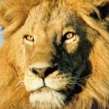 Le lion - Vidéos - Vidéos de DESSINS ANIMES - Vidéos LES AMIS DE SCOOBY