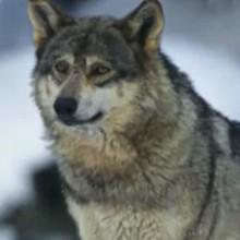 Le loup - Vidéos - Vidéos de DESSINS ANIMES - Vidéos LES AMIS DE SCOOBY