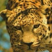 Dessin animé : La panthere