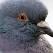 Dessin animé : Le pigeon