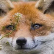 Le renard - Vidéos - Vidéos de DESSINS ANIMES - Vidéos LES AMIS DE SCOOBY