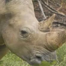 Dessin animé : Le rhinocéros