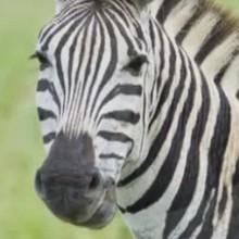 Le zèbre - Vidéos - Vidéos de DESSINS ANIMES - Vidéos LES AMIS DE SCOOBY