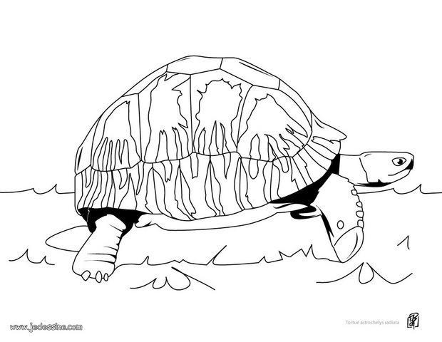 Coloriages coloriage d 39 une tortue astro chelys radiata - Dessin d une tortue ...
