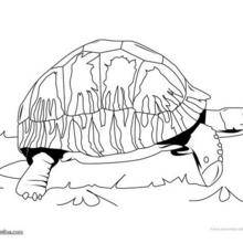 Coloriage d'une tortue astro chely