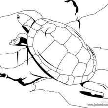 Coloriage d'une tortue bosse sur les rochers
