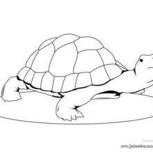 Coloriage d'une tortue bosse
