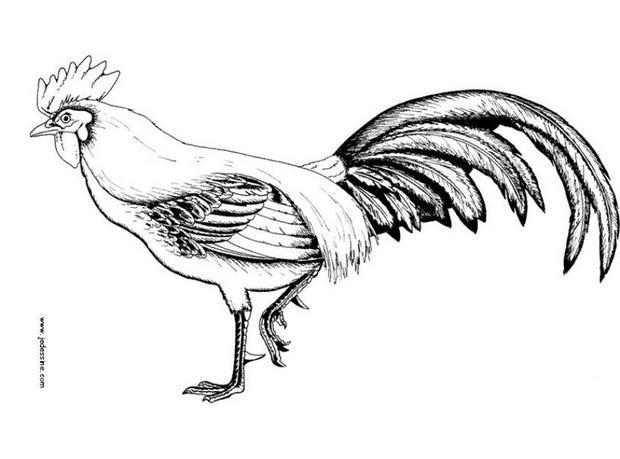 Coloriage d'un coq