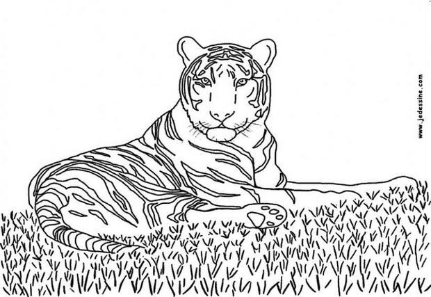 Coloriages coloriage d 39 un tigre - Image dessin tigre ...