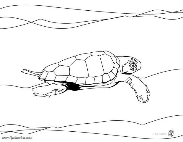 Coloriages de tortues coloriage d 39 une tortue caouanne - Dessin d une tortue ...