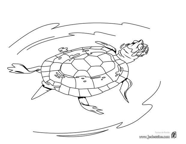 Coloriages coloriage d 39 une tortue de floride qui nage - Dessin d une tortue ...
