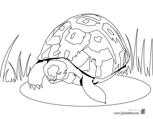 Coloriages coloriage d 39 une tortue herman - Dessin d une tortue ...