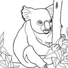 Coloriage d'un koala